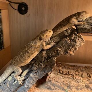 フトアゴヒゲトカゲ2匹