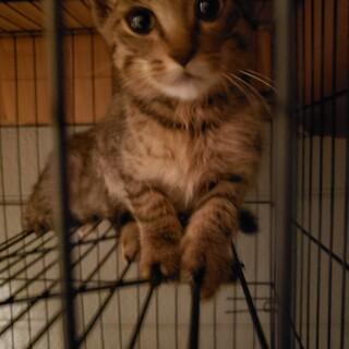 生後2~3ヶ月、キジ柄子猫