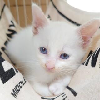 【多頭飼育レスキュー】真っ白綺麗な女の子