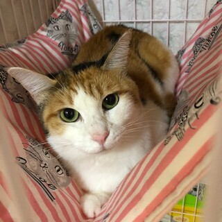 可愛い三毛猫のココちゃん☆4歳位