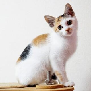 目がクリクリの三毛猫ちゃんです。か、可愛いです