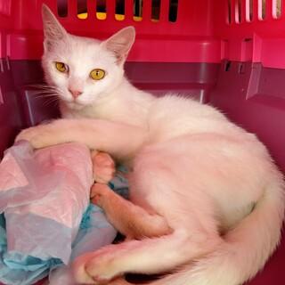 白い♀の猫です(性格穏やか)