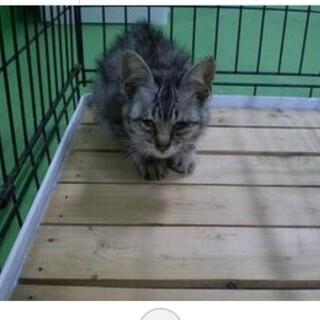 処分間近 小さいサバトラの子猫