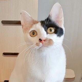 【7/18芝浦】若いオス猫のお友達に白三毛1歳