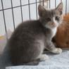 白靴下のグレーな子猫 7月15日に保護