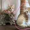 生後2か月/エイズ陽性の仔猫です。