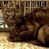 ブラックスモーク成猫収容中