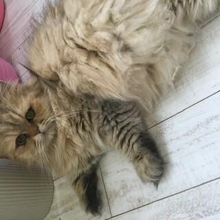 おっとりしたペルシャ猫ちゃん