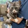 大きな瞳♡ 美猫のグレちゃん2歳♀ 避妊手術済み