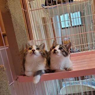 キジシロの兄妹猫ちゃんと黒
