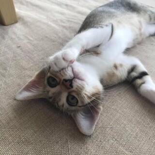 可愛いキジ猫ルカちゃん