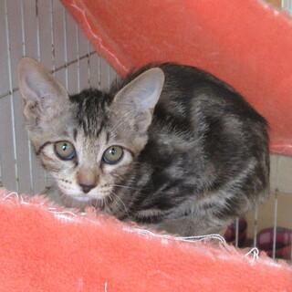 アメショー風の生後2ヶ月過ぎメス子猫