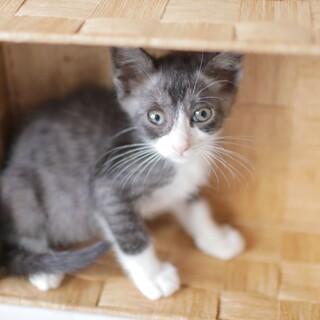【兄妹ペア歓迎】可愛いタキシード猫のまめくん