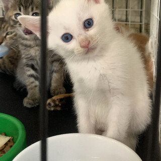 白くん 白猫 青い目