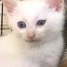 白くん 白猫 青い目 サムネイル2