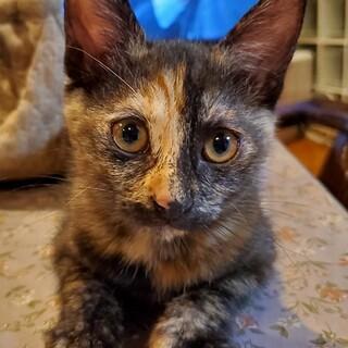 約2ヶ月半のサビ猫ちゃんの里親さんを募集します。