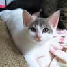 グレー白の美猫♡アイビーくん3ヵ月