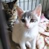 グレー白の美猫♡アイビーくん3ヵ月 サムネイル2