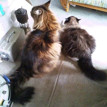 土用丑の日はウナギイヌならぬウナギのように長いネコを眺めながらうどんを食う(笑)