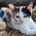 三毛子猫きなこ❤︎おてんば娘です❤︎2ヶ月