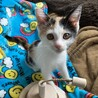 三毛子猫きなこ❤︎おてんば娘です❤︎2ヶ月 サムネイル2