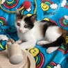 三毛子猫きなこ❤︎おてんば娘です❤︎2ヶ月 サムネイル3
