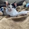 三毛子猫きなこ❤︎おてんば娘です❤︎2ヶ月 サムネイル5