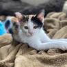 三毛子猫きなこ❤︎おてんば娘です❤︎2ヶ月 サムネイル6