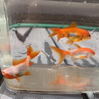 金魚3匹/更紗三尾和金の里親様募集