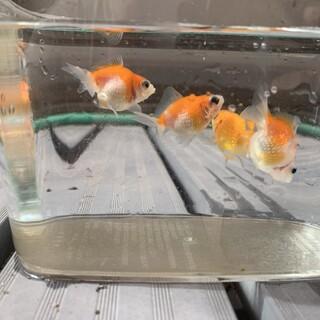 金魚4匹/ピンポンパール