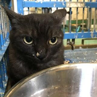 収容期間超過ブラックスモーク成猫
