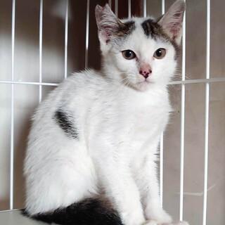 3,4ヶ月の身体がほとんど白で尾が黒い仔猫