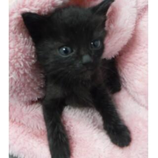 里親様に迎えられました。子猫♀098