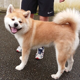 1歳の元気な秋田犬です