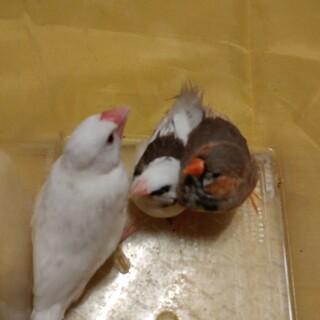 白文鳥、十姉妹、キンカチョウ