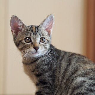 可愛いキジ子猫リズムちゃん