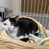 フカフカ毛並みで小顔の美猫❤︎オリーブちゃん サムネイル4