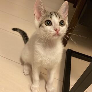 調布市☆白キジの美人な子猫