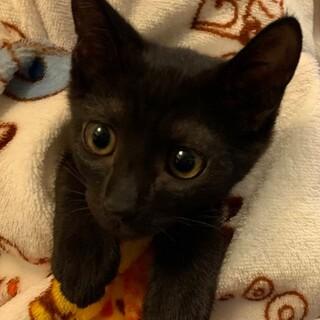 調布市☆人懐こい黒猫の男の子☆子猫です