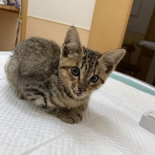 カラスに瀕死の重傷を負わされた子猫のゲンキ