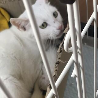 交渉により掲載期限延長。真っ白綺麗な猫
