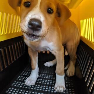 フレンドリーでお転婆な子犬の女の子 生後2ヶ月半