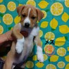 フレンドリーでお転婆な子犬の女の子 生後2ヶ月半 サムネイル3
