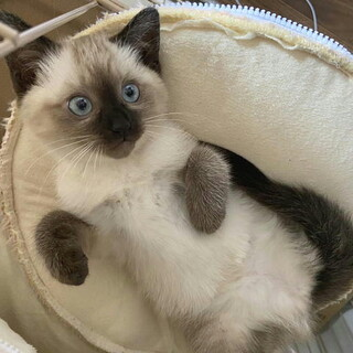 血液検査(陰性)青い目の人なれたシャム風子猫