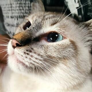 まだ仔猫の、シャム系クララちゃん!