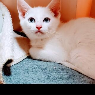 ブルーの瞳の可愛い シャイな 白猫くん