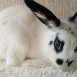 ミニウサギ(ドワーフホト系) 小くん