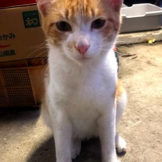 茶色&白の子猫の里親募集