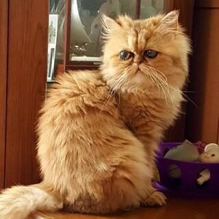 穏やかな女の子♡ ペルシャ猫 タバサ♀