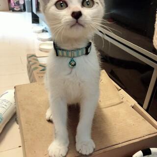 人馴れ度300%。シルバーグレー美子猫。